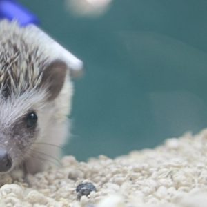 Hedgehog at Friendly Pets