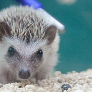 A Hedgehog at Friendly Pets, Lee NH