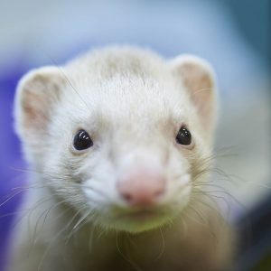 A Ferret at Friendly Pets in Exeter, NH