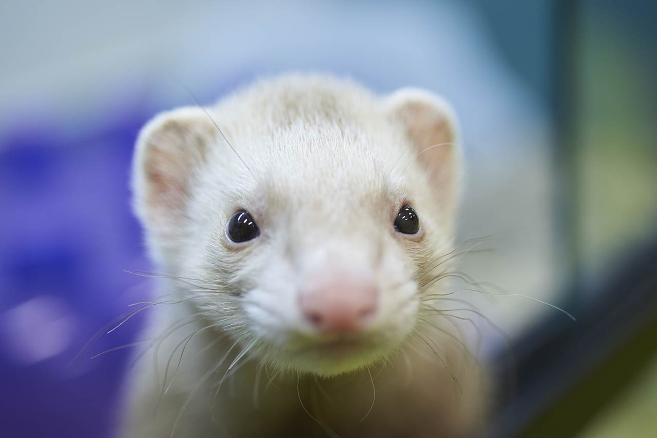 A white ferret at Friendly Pets Critter Condos
