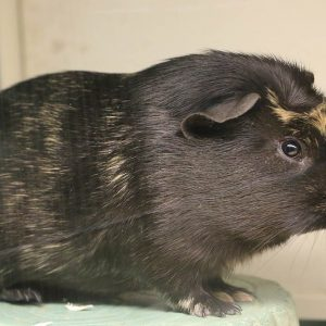 A Guinea Pig at Friendly Pets, Pet Supply Stores in Exeter and Lee, NH
