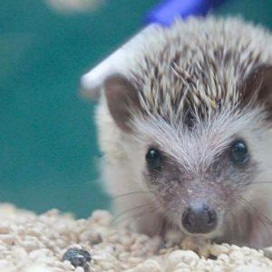 Hedgehog at Friendly Pets